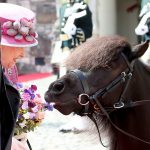 Three year old Cruachan IV the Shetland pony nibbled on one of the Queens purple blooms during a visit to Stirling Castle today