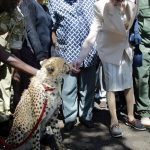 The Princess visited Kenya again in 2004 where she petted an adult cheetah Photo C GETTY
