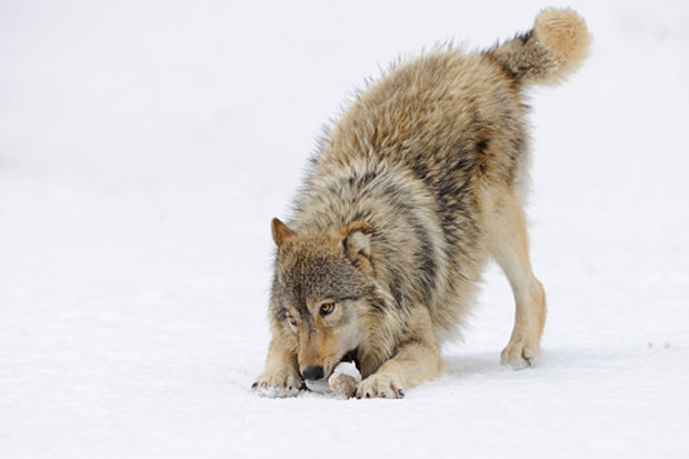 BREED Locals speculated it is an Alaskan Timber Wolf that escaped Photo C GETTY