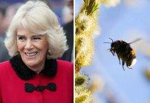 Not the bees Camilla has a strange beauty technique that may upset Charles Photo (C) GETTY