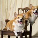 Two corgis, the Queen's favourite breed of dog (Image GETTY)