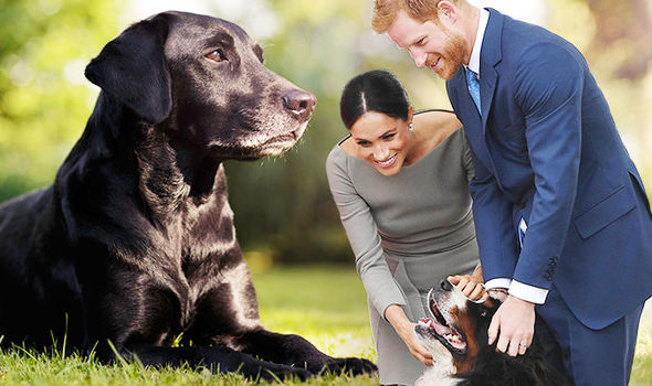 Meghan Markle and Prince Harry adopted a black labrador named Oz (Image GETTY)