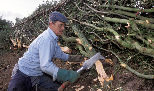 The countryside skill of hedge laying Image GETTY