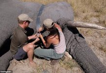 Harry and Meghan have shared never before seen photos from their trip to Botswana including this shot of the couple fixing a satellite collar to a bull elephant