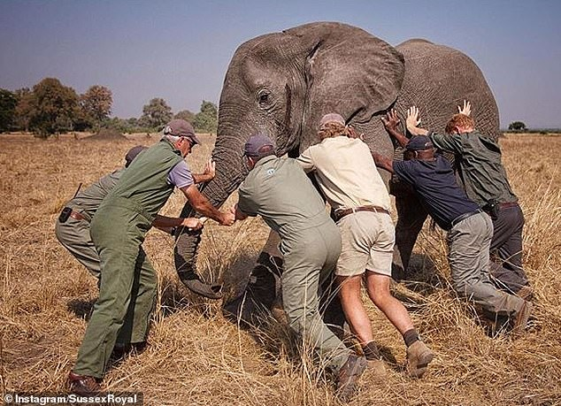 Prince Harry seen far right helping to tip a sedated elephant before its relocated to a wildlife reserve in Malawi Africa