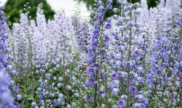 Prince Charles's favourite flower, the Delphinium