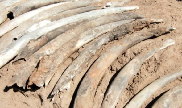 Elephant tusks were uncovered