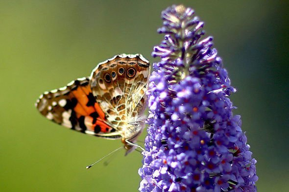 Butterfly on a spray of lilac